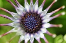 spoon-daisy